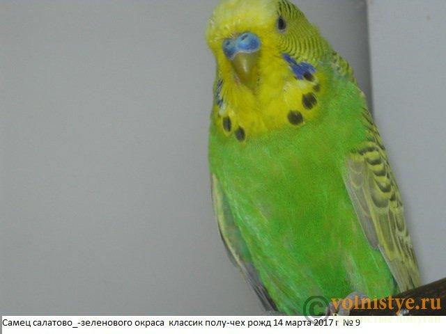 Волнистые молоденькие попугайчики для разговора - IMG_9965.JPG