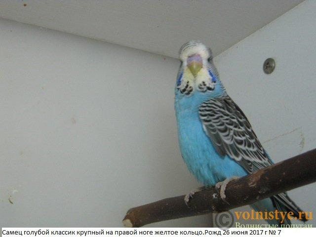 Волнистые попугаи выставочного типа молодежь Москва - IMG_9979.JPG