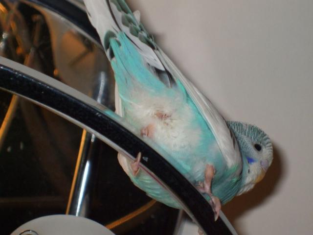 Проплешина возле клоаки у волнистого попугая. - Проплешина возле клоаки.jpg