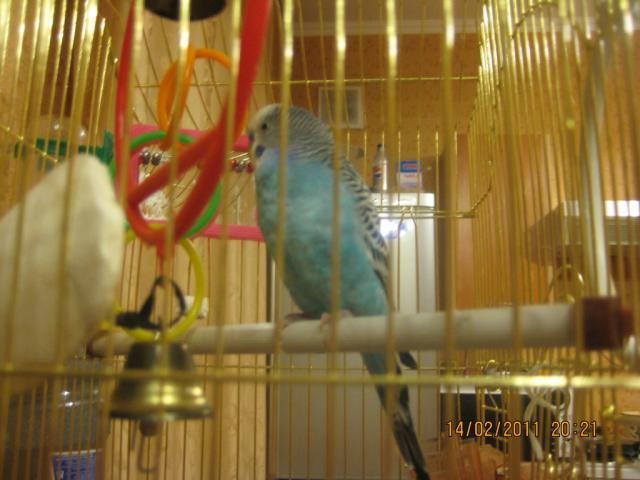 Волнистый попугай. - Птиц.jpg
