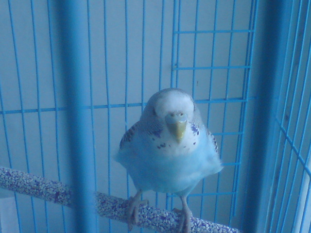 Волнистый попугай - 1.jpg