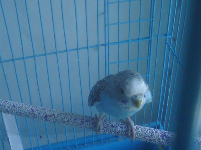 Волнистый попугай - 2.jpg