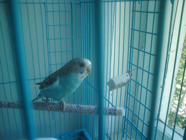 Волнистый попугай - 3.jpg