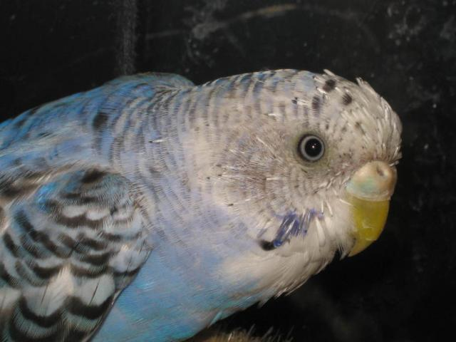 Линька у самки волнистого попугая. - Линька у.jpg