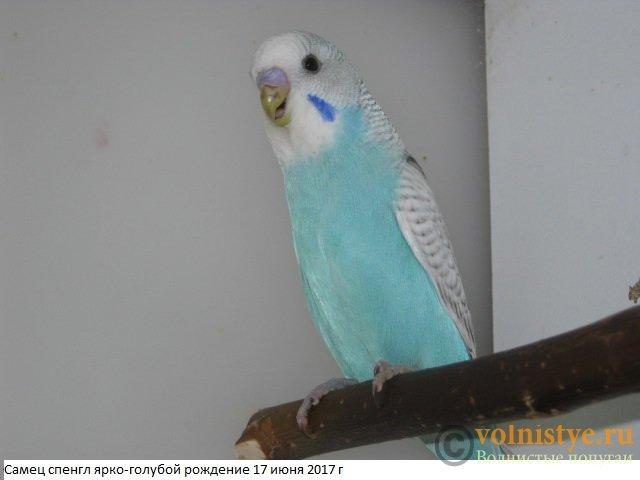 Волнистые молоденькие попугайчики для разговора - IMG_9873.JPG
