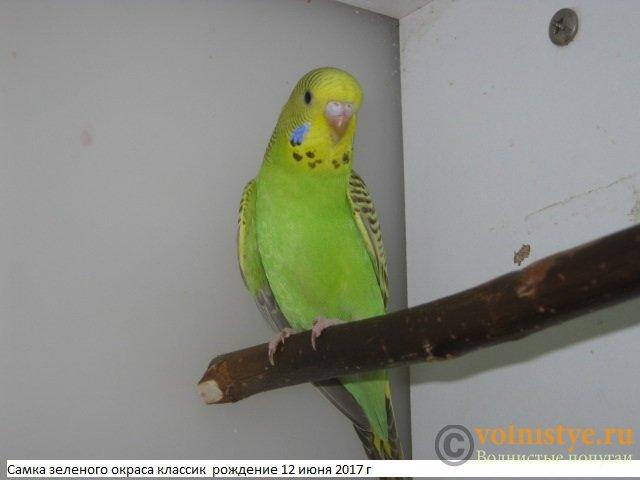 Волнистые молоденькие попугайчики для разговора - IMG_9860.JPG