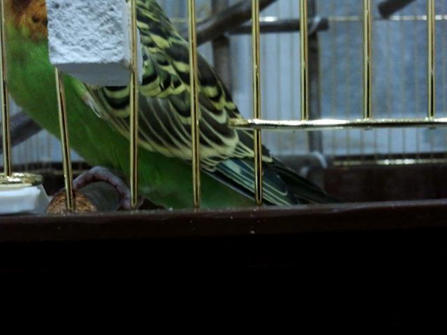 Волнистый попугай. - Л.jpg