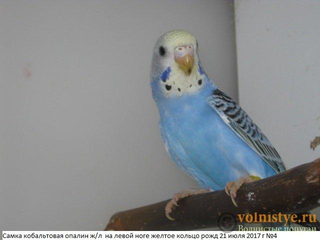 Волнистые молоденькие попугайчики для разговора - IMG_0076.JPG