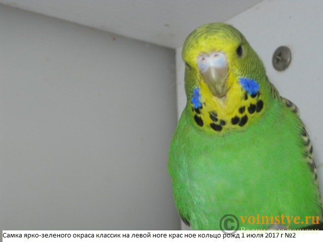Волнистые попугаи выставочного типа молодежь Москва - IMG_0044.JPG