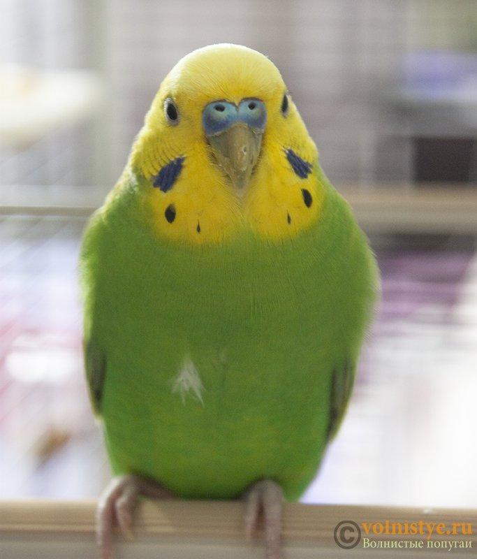 Проблема с глазом у волнистого попугая - _MG_8697.jpg