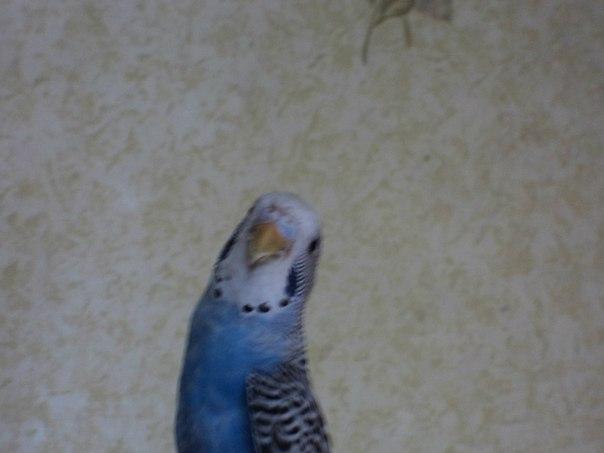 Волнистый попугай - V1Fqqyq5nsA.jpg