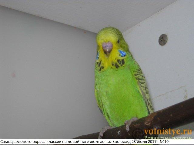 Волнистые попугаи выставочного типа молодежь Москва - IMG_0079.JPG