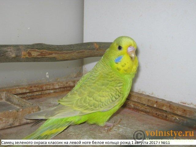 Волнистые попугаи выставочного типа молодежь Москва - IMG_0160.JPG