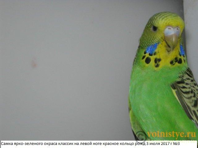 Волнистые попугаи выставочного типа молодежь Москва - IMG_0055.JPG