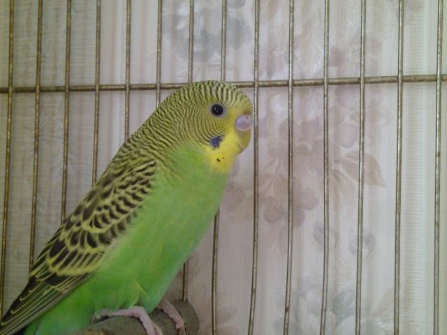 Волнистый попугайчик - P1030100.JPG