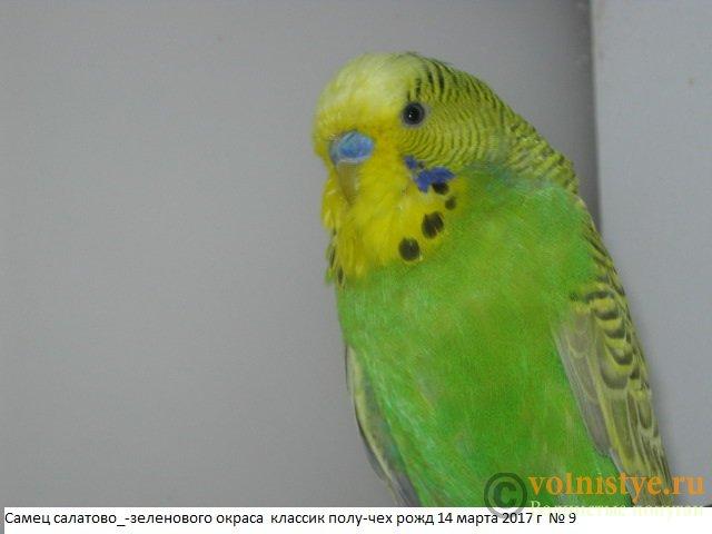 Волнистые молоденькие попугайчики для разговора - IMG_9963.JPG