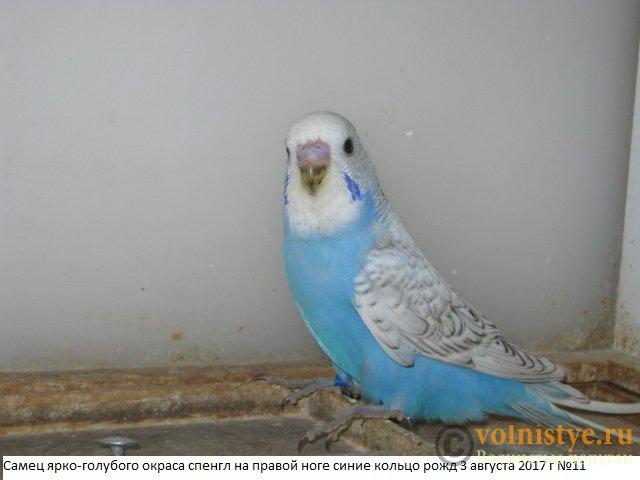 Волнистые молоденькие попугайчики для разговора - IMG_0174.JPG