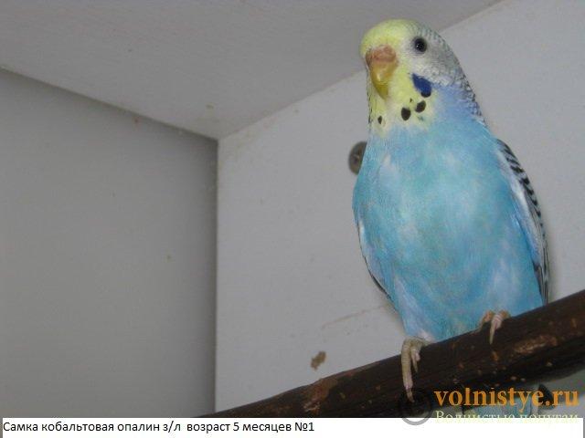 Волнистые молоденькие попугайчики для разговора - IMG_9857.JPG