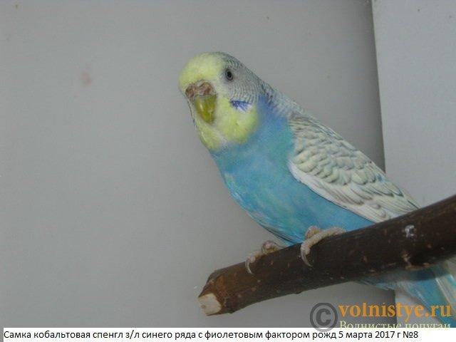 Волнистые молоденькие попугайчики для разговора - IMG_0069.JPG