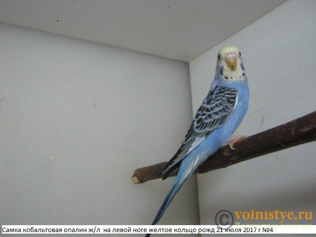 Волнистые молоденькие попугайчики для разговора - IMG_0073.JPG