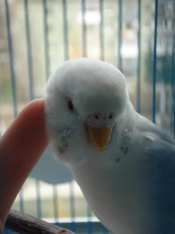 Волнистый попугай. - DSC06922.JPG
