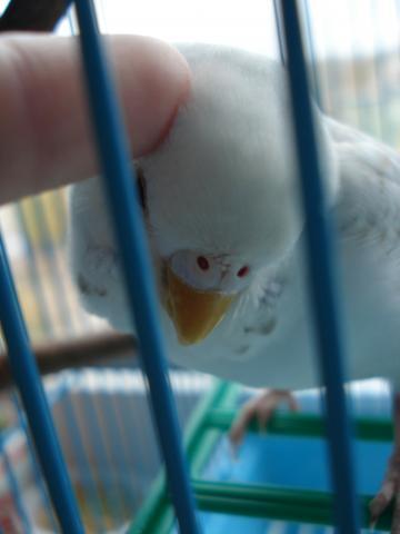 Волнистый попугай. - DSC06934.JPG