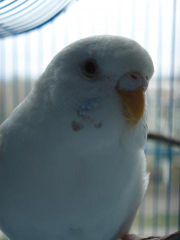 Волнистый попугай. - DSC06937.JPG