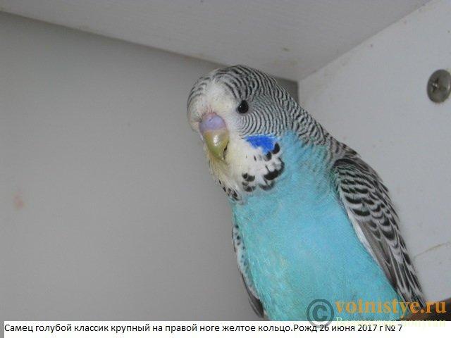 Волнистые попугаи выставочного типа молодежь Москва - IMG_9981.JPG