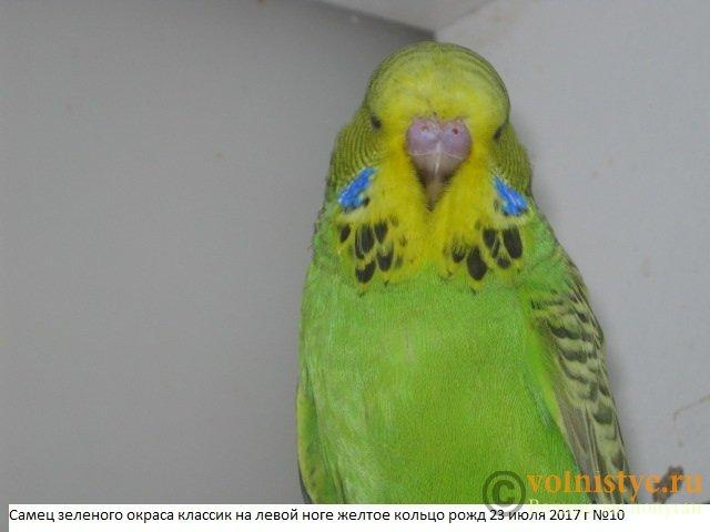 Волнистые попугаи выставочного типа молодежь Москва - IMG_0087.JPG