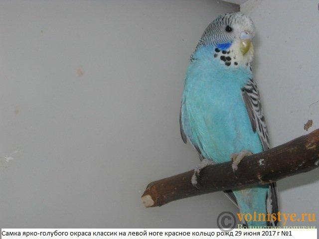 Волнистые попугаи выставочного типа молодежь Москва - IMG_0033.JPG