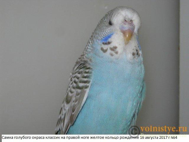 Волнистые попугаи выставочного типа молодежь Москва - IMG_0233.JPG
