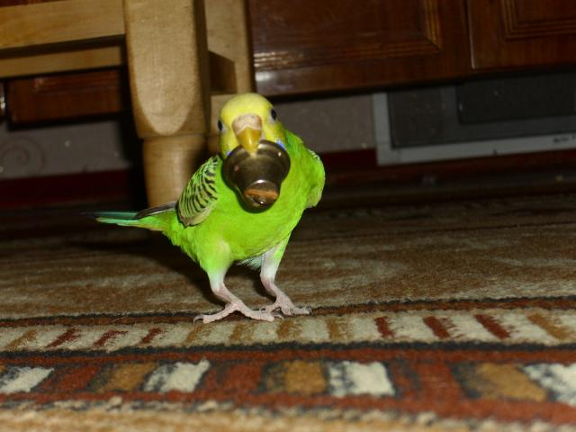 Определяем пол и возраст попугаев - 3 - DSCI2633.JPG
