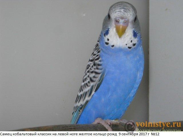 Волнистые молоденькие попугайчики для разговора - IMG_0371.JPG
