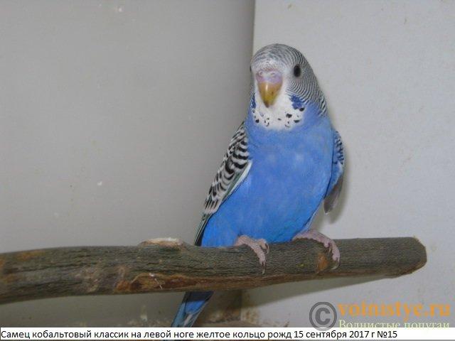 Волнистые молоденькие попугайчики для разговора - IMG_0382.JPG