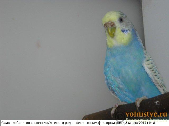 Волнистые молоденькие попугайчики для разговора - IMG_0067.JPG