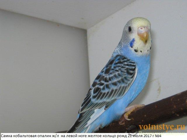Волнистые молоденькие попугайчики для разговора - IMG_0074.JPG