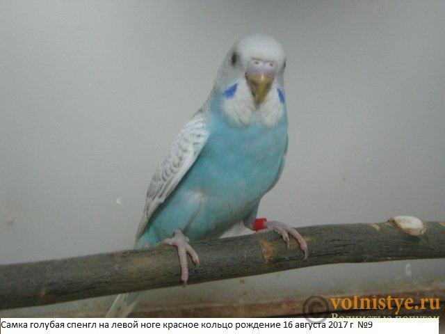 Волнистые молоденькие попугайчики для разговора - IMG_0224.JPG