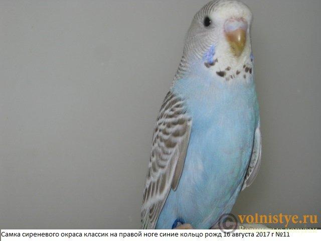 Волнистые молоденькие попугайчики для разговора - IMG_0230.JPG