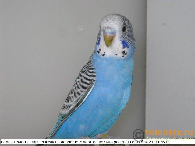 Волнистые молоденькие попугайчики для разговора - IMG_0373.JPG