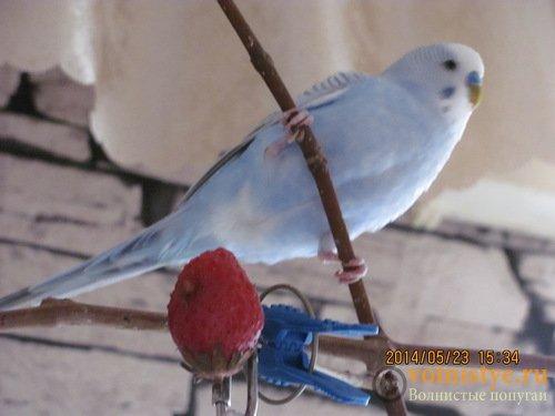 Отдам В ОТВЕТСТВЕННЫЕ РУКИ стаю волнистых попугаев.(Ростов-на-Дону) - 0_d14d6_8f198102_L.jpg