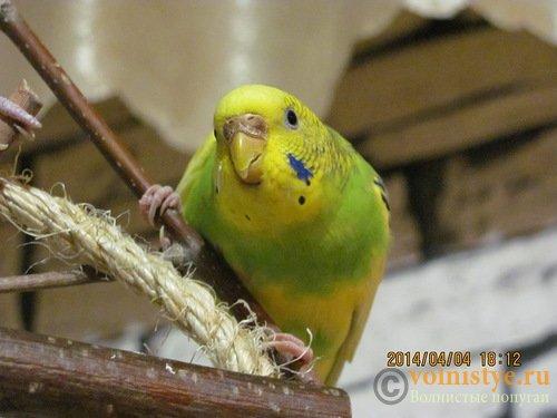 Отдам В ОТВЕТСТВЕННЫЕ РУКИ стаю волнистых попугаев.(Ростов-на-Дону) - 0_cdb7e_b09119ab_L.jpg