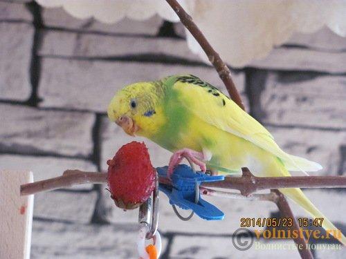Отдам В ОТВЕТСТВЕННЫЕ РУКИ стаю волнистых попугаев.(Ростов-на-Дону) - 0_d14d4_56986b30_L.jpg