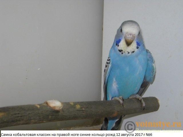 Волнистые молоденькие попугайчики для разговора - IMG_0195.JPG