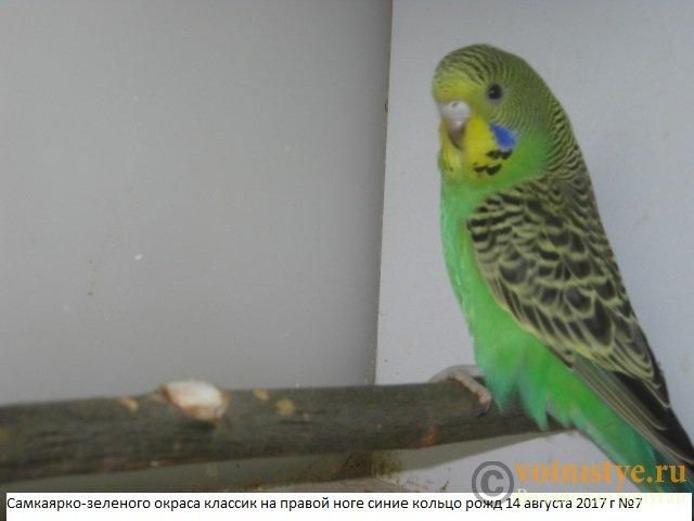 Волнистые молоденькие попугайчики для разговора - IMG_0202.JPG