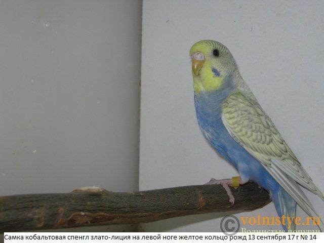 Волнистые молоденькие попугайчики для разговора - IMG_0380.JPG