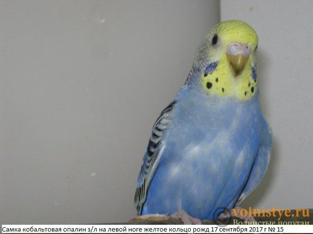 Волнистые молоденькие попугайчики для разговора - IMG_0390.JPG