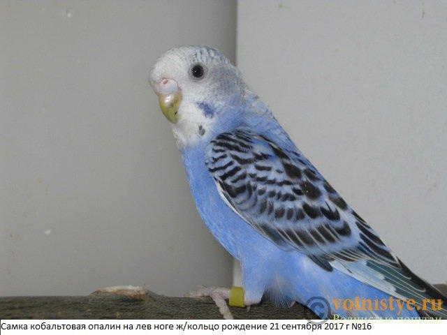 Волнистые молоденькие попугайчики для разговора - IMG_0398.JPG