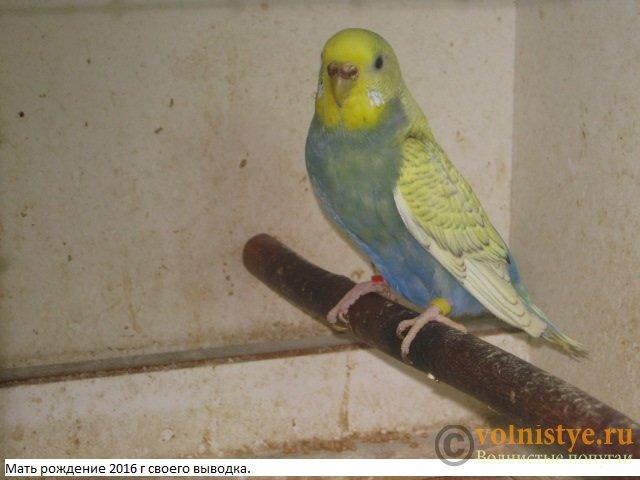 Волнистые молоденькие попугайчики для разговора - IMG_0182.JPG