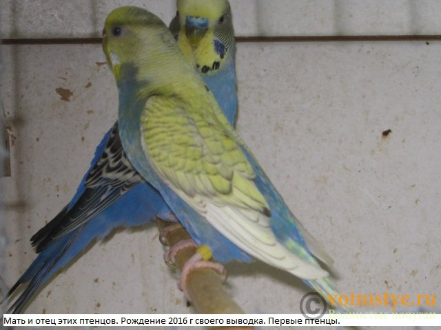 Волнистые молоденькие попугайчики для разговора - IMG_0184.JPG