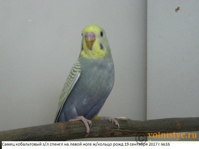 Волнистые молоденькие попугайчики для разговора - IMG_0395.JPG